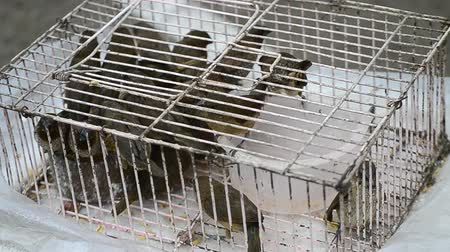 pitiable : Ricebird Group In Cage For Sell