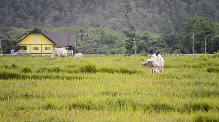 rabble : Cows In Rural Green Field Of Thailand Stock Footage