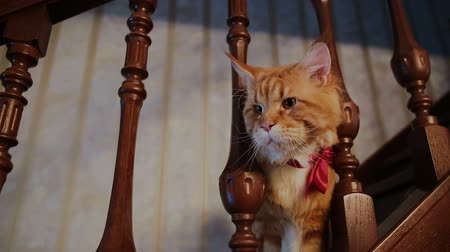 hiç kimse : Red cat on a wooden staircase in the house Stok Video
