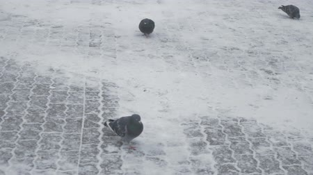 kurulamak : Pigeons clumsily walking on snow-covered surfaces Stok Video