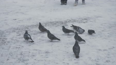 dab : Pigeons clumsily walking on snow-covered surfaces Stock Footage