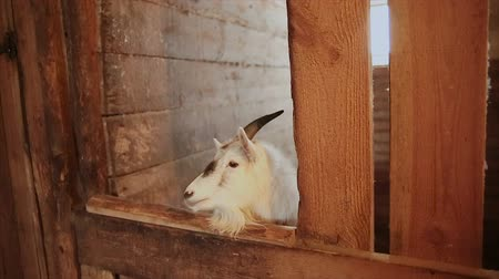 bak : The goat stands in the animal stall