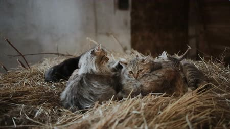 mestiços : Cats in a hay in a barn near a window