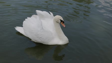 swans swimming : White swan swims on the lake in clear water
