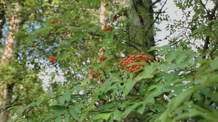 sorbus : Closeup of orange Rowan berries or Mountain Ash tree with ripe berries in autumn. Stock Footage