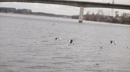 gaivota : Gulls in slow motion over the river