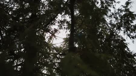 кедр : The suns rays make their way through the young branches of spruce. Summer solar wind. Windless weather