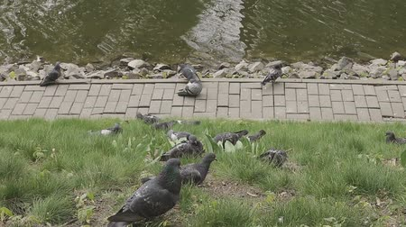 plash : Gray pigeons are walking on the grass near the pond Stock Footage