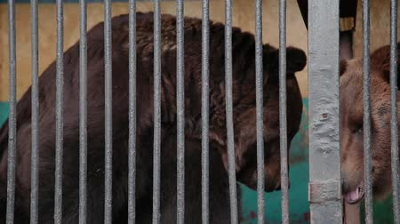hapis : Brown Bear In Captivity On Hot Summer Day. Animal In Zoo Cage.