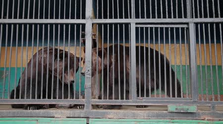arctos : Brown Bear In Captivity On Hot Summer Day. Animal In Zoo Cage.