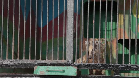 dobra : The South American coati is eating meat. Wild animals in captivity Vídeos
