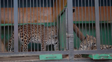 extinct species : Cheetah in the cage in zoo.