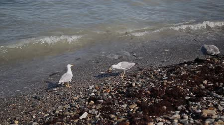 треска : Seagulls catch fish on the seashore.