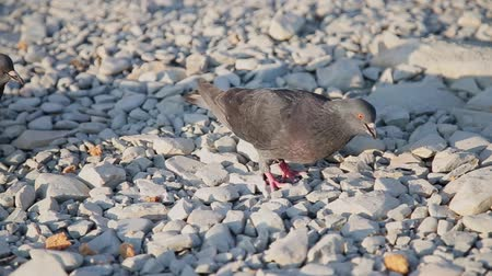 animals in the wild : Brown doves walking on pebbles and search food among small stones. Hungry birds on the beach. Sunny summer day.