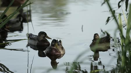 anas platyrhynchos : A brood of Ducks swim close in the thickets of the pond. Wild birds in their habitat. Stock Footage