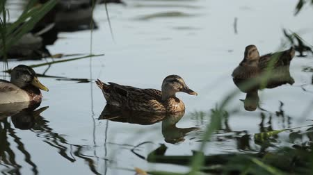 утки : A brood of Ducks swim close in the thickets of the pond. Wild birds in their habitat. Стоковые видеозаписи