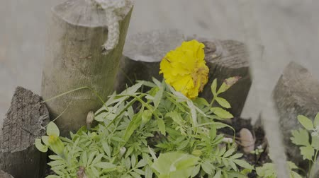 перец чили : Beautiful yellow flower in a wooden pot. Стоковые видеозаписи