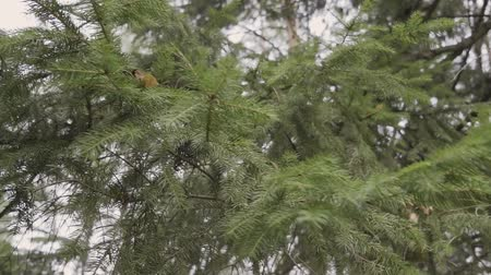 ladin : Branches of green spruce on a sunny day. Stok Video