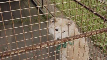 breed : Beautiful husky in a large cage. Stock Footage