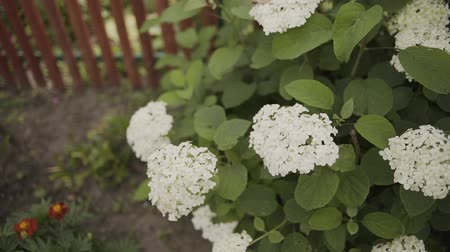 hortênsia : Blooming white flowers of Hydrangea Hortensia in the garden.