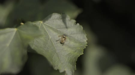 konuları : Macro and Slow motion of a Wasp Searching food while Walking on a Leaf. Stok Video