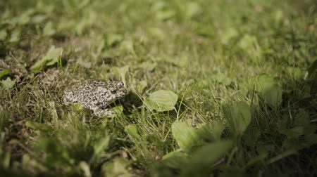 rana : The toad are posing on grass on a nature background.