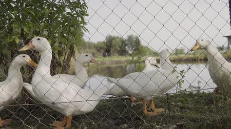 guards : White domestic geese behind the fence near the lake.