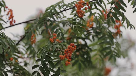 üvez ağacı : tree rowan in summer ripe red berries, video.