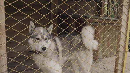 аляскинским : Beautiful husky in a large cage. Стоковые видеозаписи