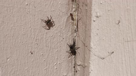 fobi : Spiders crawling on the wall. Stok Video