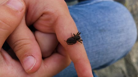 arachnophobia : Black spider on the hand of a child.