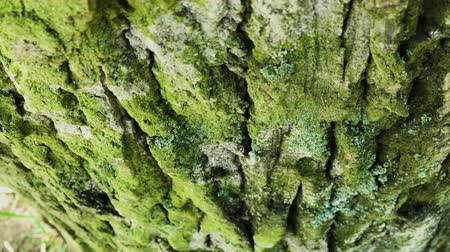 pan shot : Tree bark close up. Sunny bright day.