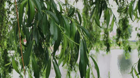 homály : Willow branches after rain in cloudy weather.