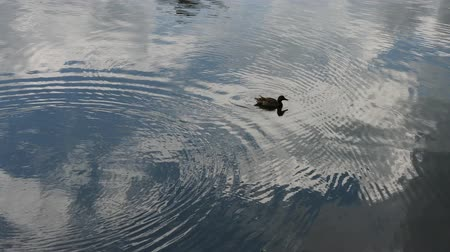 mallard : A lone gray duck swims near the lake.