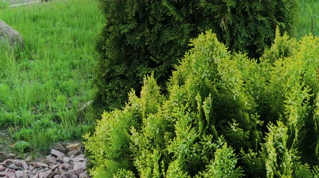 sedir : Beautiful green tree branches Thuja stock footage video. Stok Video