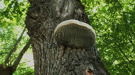 softwood forest : Parasite mushroom on a tree in the forest.