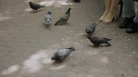 taube : Family feeds pigeons at the park bench. Videos