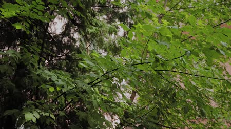 gałąź : Natural background of branches and leaves of a green tree.