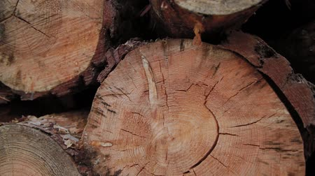 felling : Felled Logs Falling on a Tree Trunks in the Forest. Folding logs felled into a heap. The felled trees fall on a pile of firewood. Cut logs are stacked in a forest. Still summer forest around.