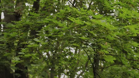 virágmintás : Natural green tree branches swaying from the wind. Stock mozgókép