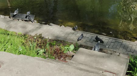 birdie : City pigeons sit on the shore of a lake on a sunny day.