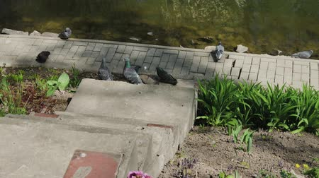 taube : City pigeons sit on the shore of a lake on a sunny day.