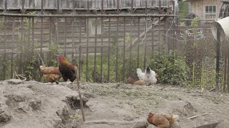 feathered : Beautiful domestic hens walk around the yard.