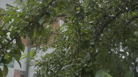vallende sterren : Green leaves of a tree in the rain. Stockvideo