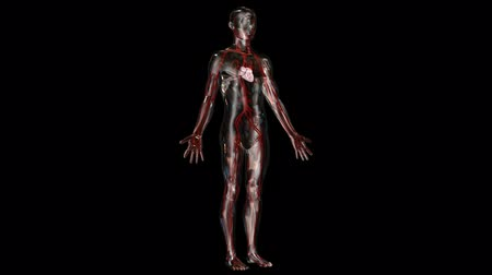 damarlar : Male figure with a transparent body apart from the heart. Camera moves in closer to the heart.  First 200 and last 200 frames loop.
