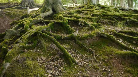 raiz : Moss covered tree roots. Camera move then hold. Vídeos
