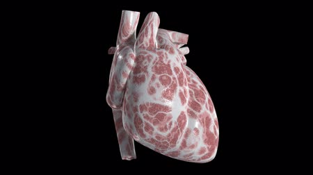 human artery : An isolated heart beating. Loops
