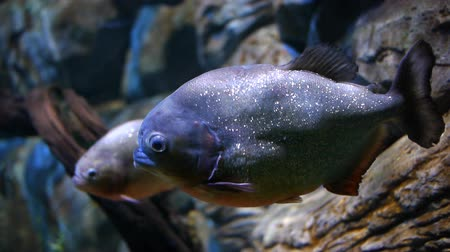red bellied : A Red-bellied piranha (Pygocentrus nattereri).