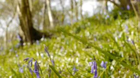 kimse : Some bluebell flowers in a wood in England. Blurred background, includes camera move. Stok Video