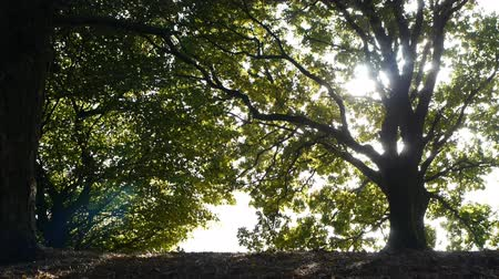 oak forest : Sunshine streaming through trees - camera move. Stock Footage